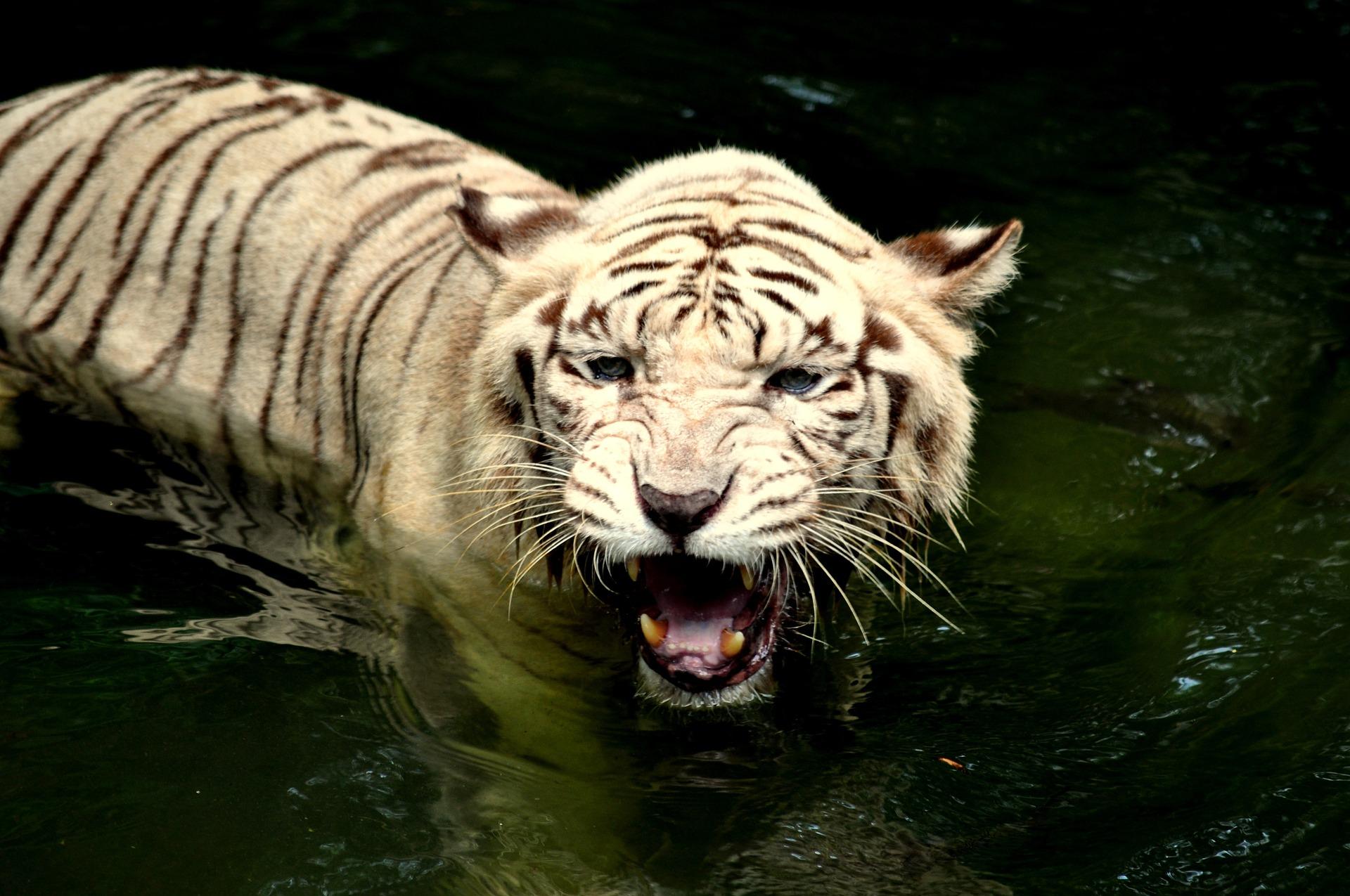 tiger-1198237_1920.jpg